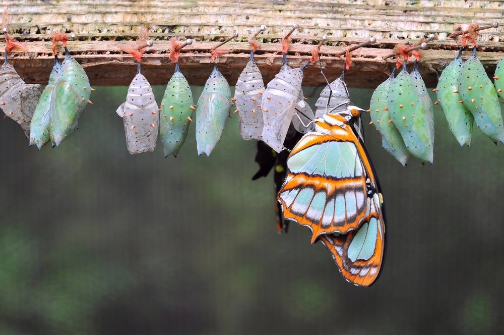 Butterfly with pinned hanging cocoons